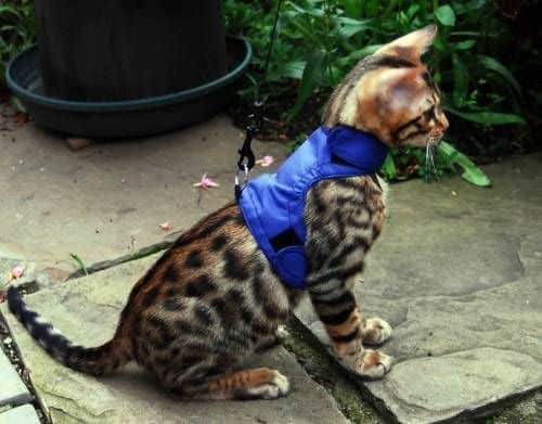 bengal-cat-on-leash4