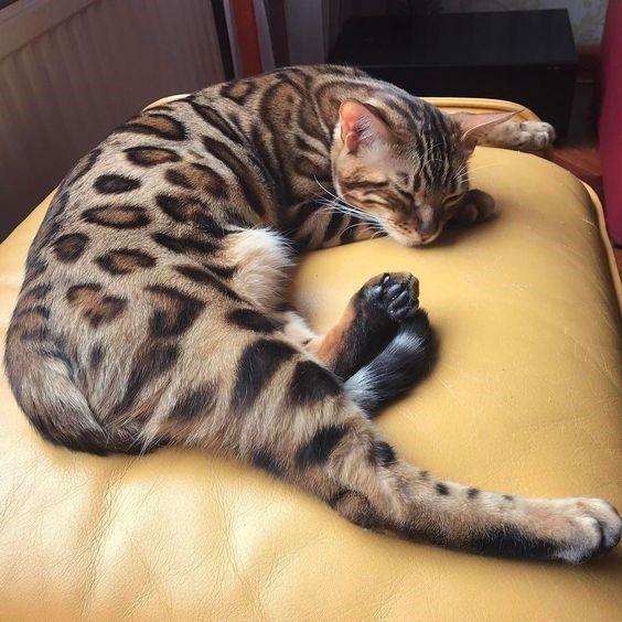 curiosidades de los gatos 4