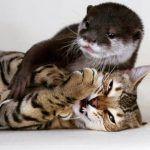Curiosidades de los gatos bengalí