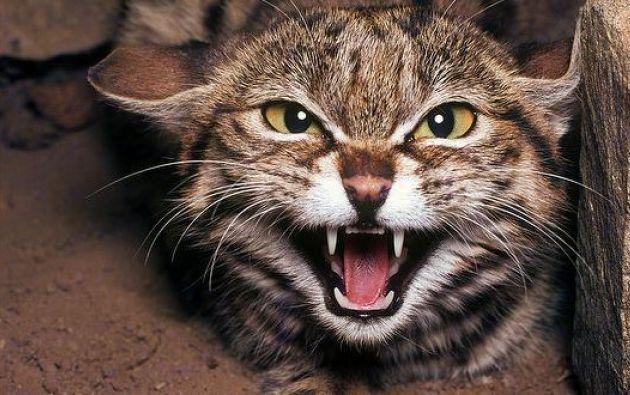gato agresivo - 1