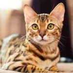 ¿Son los gatos Bengalí animales domésticos?