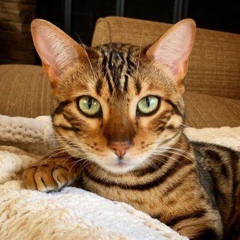 Gato benagli covid19