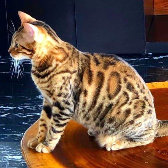 Gato Bengali en mesa de centro