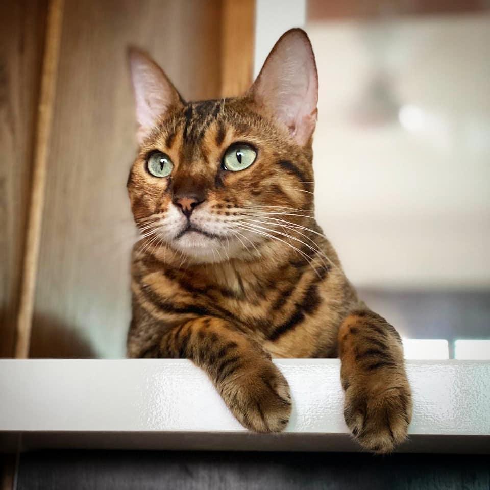 Gato Bengali en escalera