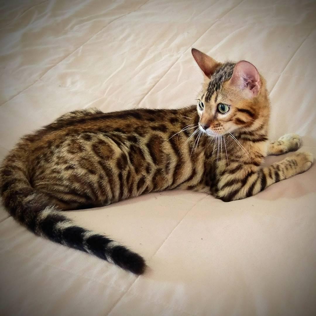 Gato Bengali hembra acostada