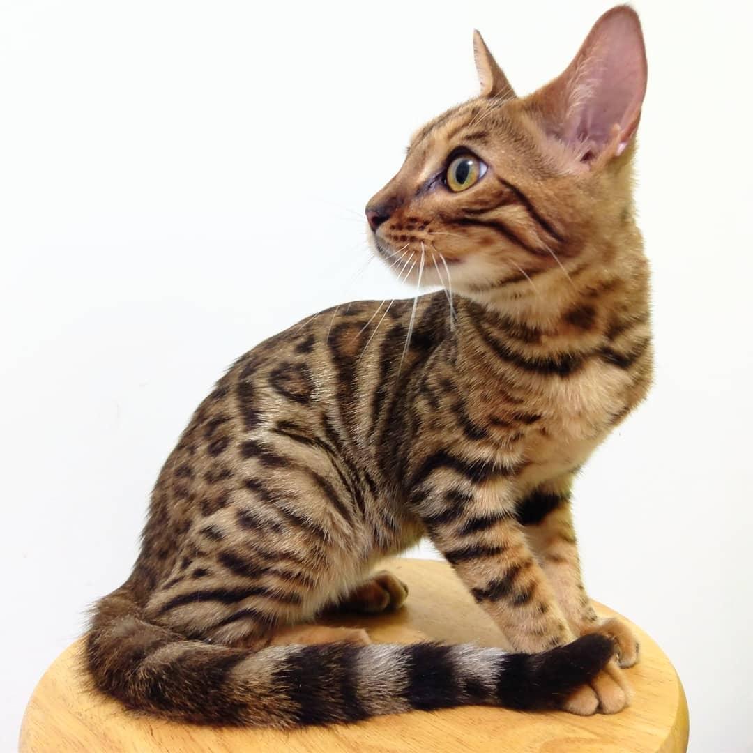 Gato Bengali con buen contraste