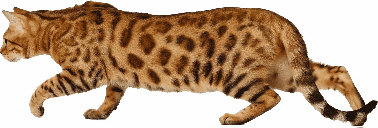 gato bengali dorado caminando