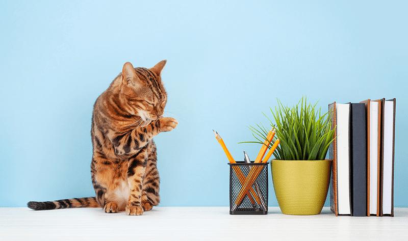 adoptar un gato bengali