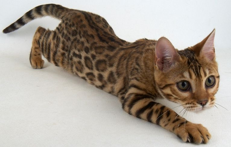 gato hipoalergénico Gato bengalí